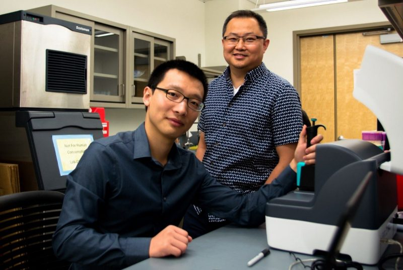 Sai Ma (left), first author of the paper and a former biomedical engineering doctoral student, and Chang Lu, the Fred W. Bull Professor of Chemical Engineering at Virginia Tech.